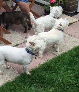 Lots of Westies 1
